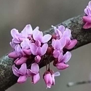 Red Bud flowers