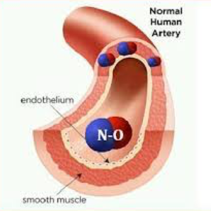 Diagram of Human Artery